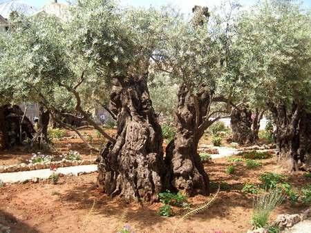 Древние маслины в Гефсиманском саду