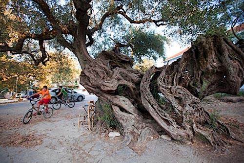 Древние оливковые деревья на острове помнят не только святителя Дионисия и св.Федора Ушакова, но и св.рвнап. Марию Магдалину