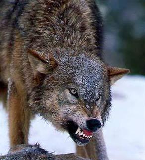 В нем автор затрагивал проблему нападения волков на
