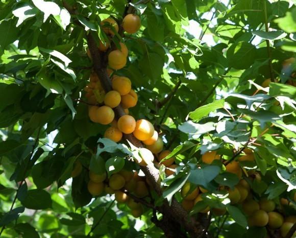 Деревья здесь плодоносят. Фото Юлии Маковейчук