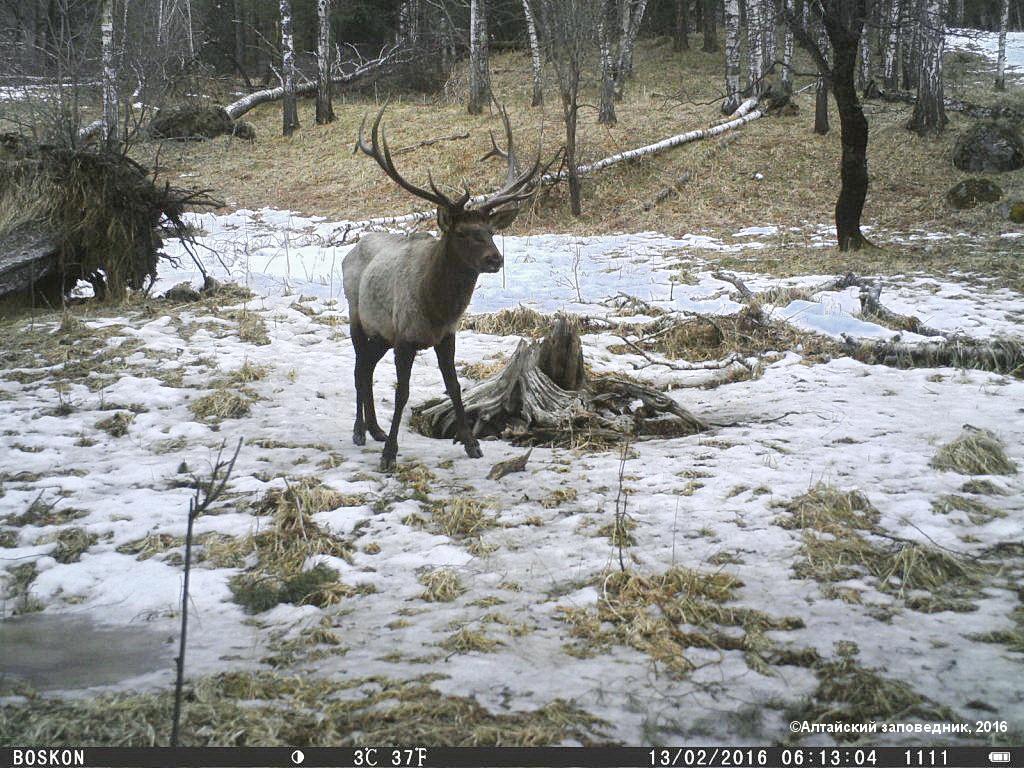 Национальный парки и заповедники России. Алтайский заповедник