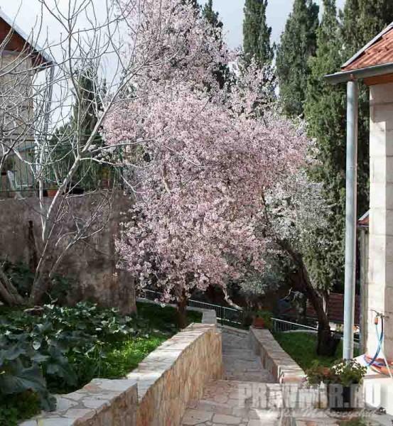 Весной в Горненском цветет розовый миндаль