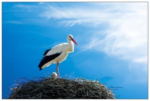 Гнездо для Аиста устраивают на доме или возле жилья, используя для этого старую. колесо. или.