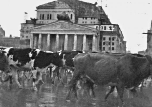 34. Массовая эвакуация скота через Москву. Осень 1941 г.