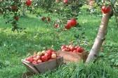 Для чего на Преображение освящают яблоки?