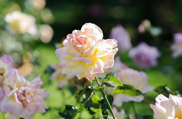 Август-сентябрь в Новоспасском монастыре – время роз. В саду Новоспасского монастыря работают всего два садовника, поэтому можно не только прийти полюбоваться розами, но и помочь
