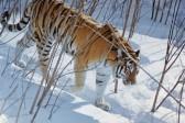 Редкий тигр появился в тайге Приамурья