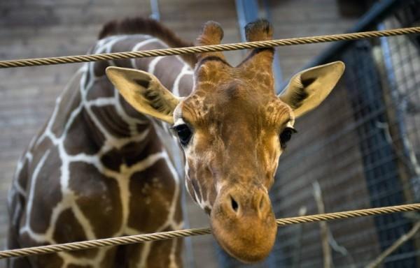 О жирафоубийстве и дешевом дофамине