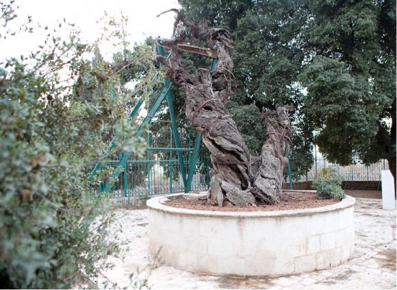 Дуб Мамврийский в Хевроне