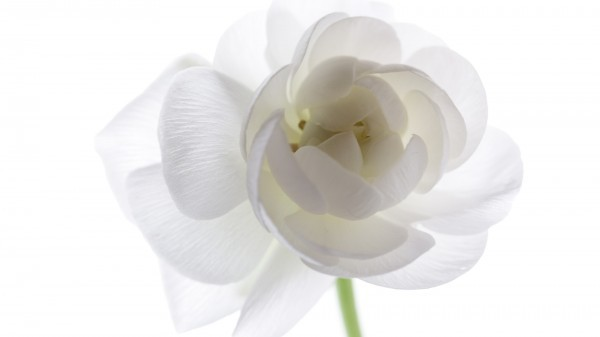 """В Санкт-Петербурге стартовала акция """"Белый цветок"""""""