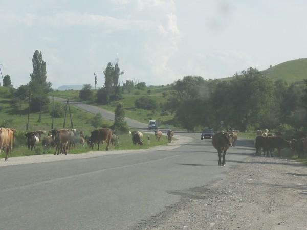 Окрестности станицы Зеленчукская. Коровы гуляют прямо по дорогам.