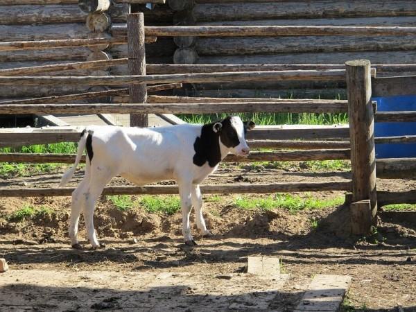 Телят еще не берут на выгон вместе с коровами