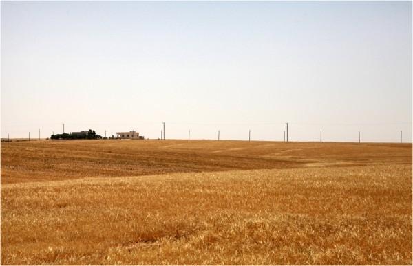 Поля пшеницы в окрестностях Ум-ар-Расаса