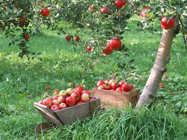 Около 40 тонн яблок освятили в Храме Христа Спасителя
