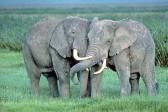 Слоны танцуют под звуки скрипки