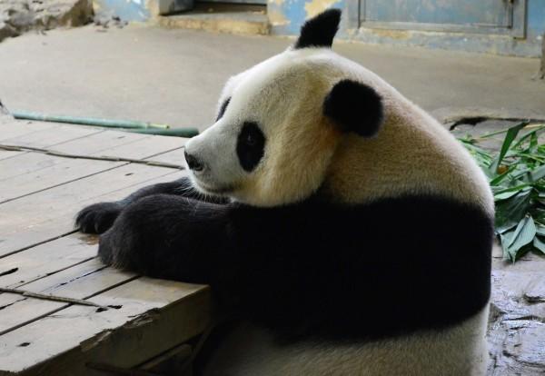 Juxiao-the-panda