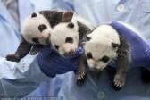 Тройняшкам-пандам из Китая исполнился месяц