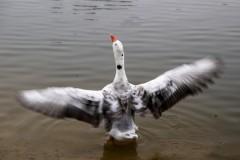 Портрет гуся, или Как извлечь пользу из злословия