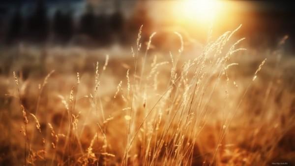 Колоски-пшеницы