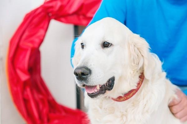Внучка первой собаки Любимовых Олли – Джой. Как говорит Татьяна, Джой оправдывает свою клику: по-английски Джой это «радость»