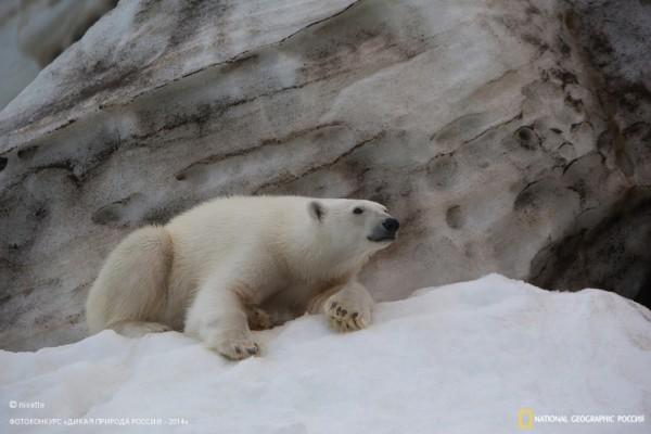 «Мохнатый исполин». 3-е место в номинации «Млекопитающие». Автор: Николай Гернет.