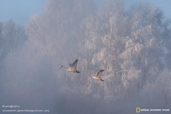 «Лебеди в тумане». 1-ое место в номинации «Птицы». Автор: Закир Умаров.