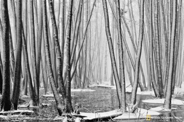 «Март на ольховом болоте». 2-ое место в номинации «Природа в черно-белых тонах». Автор: Юрий Сорокин