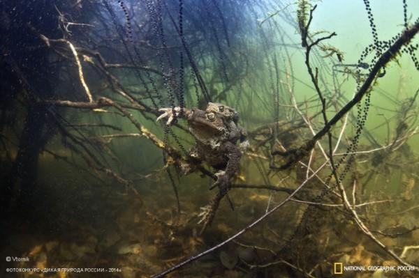 «Среди нитей жемчуга». 1-ое место в номинации «Подводная съемка». Автор: Эдуард Николаев.