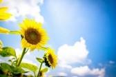 Богоявление: Христос - как солнце, душа - как подсолнух