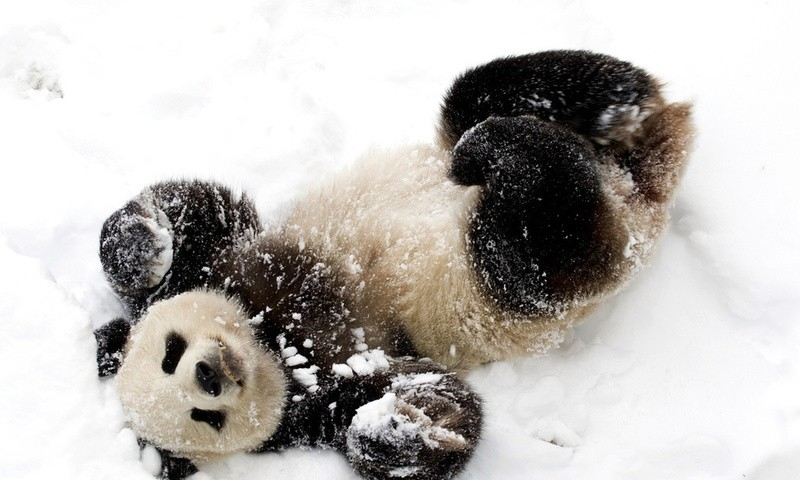 Панда радуется выпавшему снегу