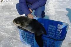 Молодого морского котика спасли на побережье Сахалина