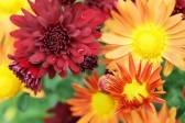 Aster_bouquet_netbook_background