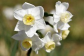 Jonquil-Flowers-1-1024×768