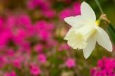 daffodils-06_kcolwell_ncsa_display