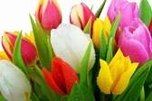 fresh_tulips-1920×1440