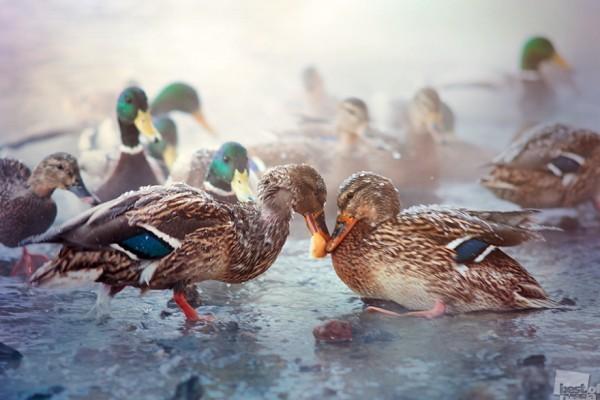 Корочка хлеба Утки - весьма эгоистичные птицы. Тем ценнее подобные кадры. Автор - Станислав Аристов