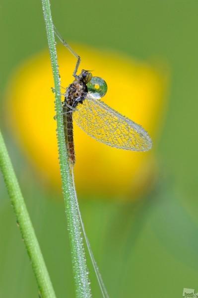 Сизифов труд. Очень люблю снимать изящных поденок которые чуть больше комарика. Автор - Андрей Чистяков
