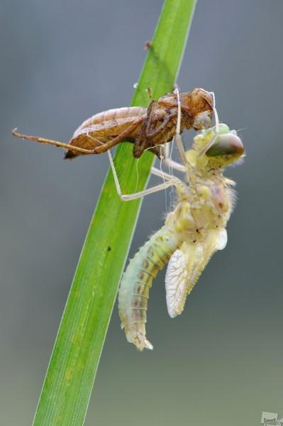 Метаморфоза Интересно как из личинки живущей в воде появляется красивое летающее существо.Но и личинка и красавица стрекоза довольно свирепые хищники. Автор - Андрей Чистяков