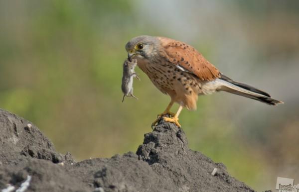 Поиграем? Пустельга (лат. Falco tinnunculus) поймала мышку и долго с ней играла, то подбрасывая её, то отпуская на землю.Этой осенью повезло увидеть и запечатлеть эту картину. Автор - Анна Голубева