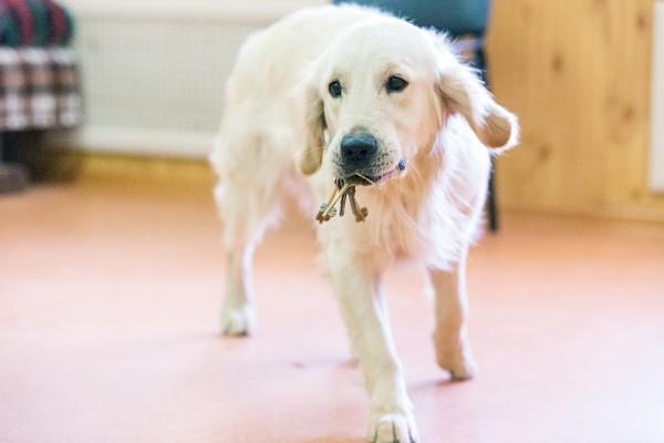 Собака учится поднимать и приносить упавшие предметы, например, ключи