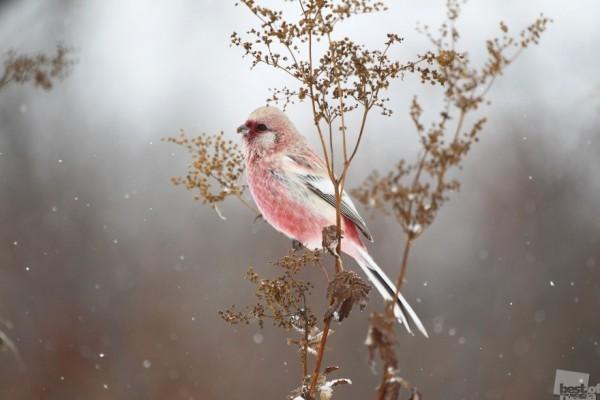 Зимний сон Урагус оседлая птица на Урале и в Сибири, и одна из самых красивых Автор - Татьяна Смирнова