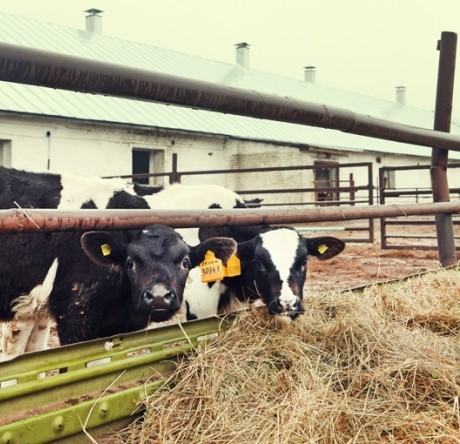 Бычки черно-пестрой породы - основное направление хозяйства