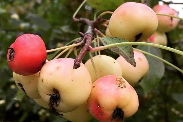Яблочный Спас. Фото Алексея Коровина