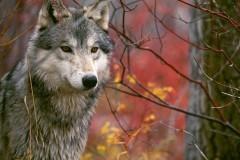 Волчья метка Сергея Есенина
