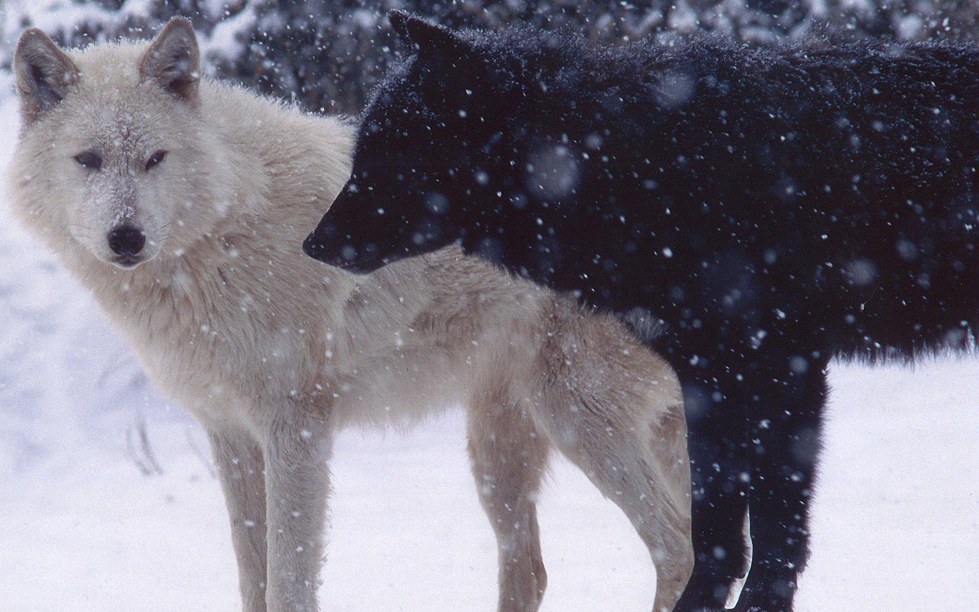Время Белых Волков Скачать