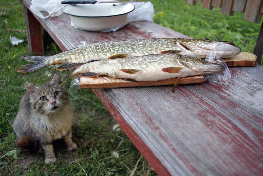Рыба поймала кота картинки