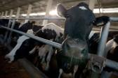 Власти Тувы подарят малоимущим семьям по корове