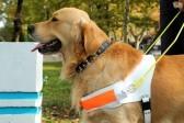 В России впервые подготовили собаку-проводника для слепоглухих