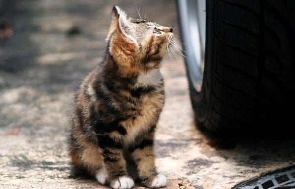 В Калининграде водитель спас котенка, оказавшегося среди потока машин