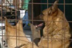 Пес Рэм спас несколько собак во время пожара в кемеровском питомнике